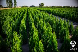 Thuja emerald wholesale from the Polish nursery